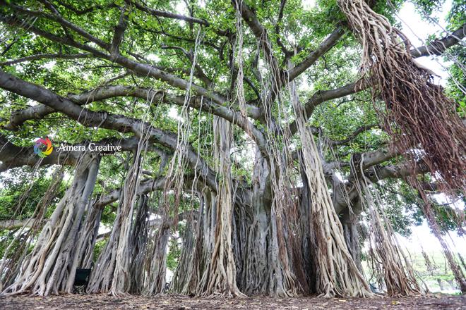 大きなガジュマルの木 #2 @ Kapiolani Park