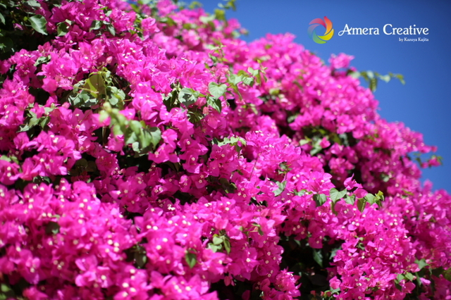 花・植物 #17 ブーゲンビリア