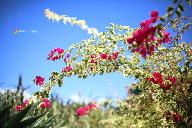 花・植物 #16 ブーゲンビリア