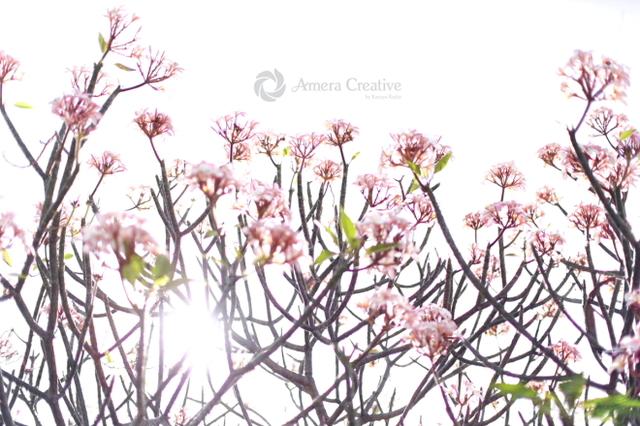 花・植物 #18 桜色のプルメリア