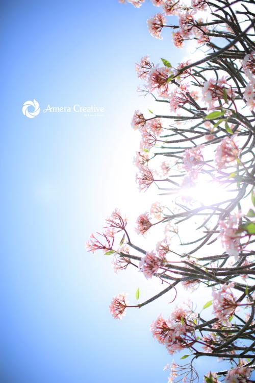 花・植物 #19 桜色のプルメリア