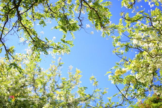 花・植物 #21 シャワーツリー