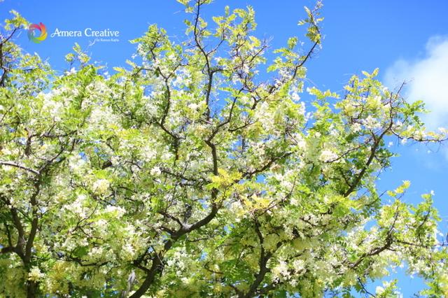 花・植物 #20 シャワーツリー