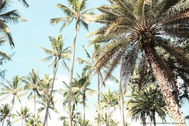 ヤシの木 #1 @ Haleiwa Beach Park