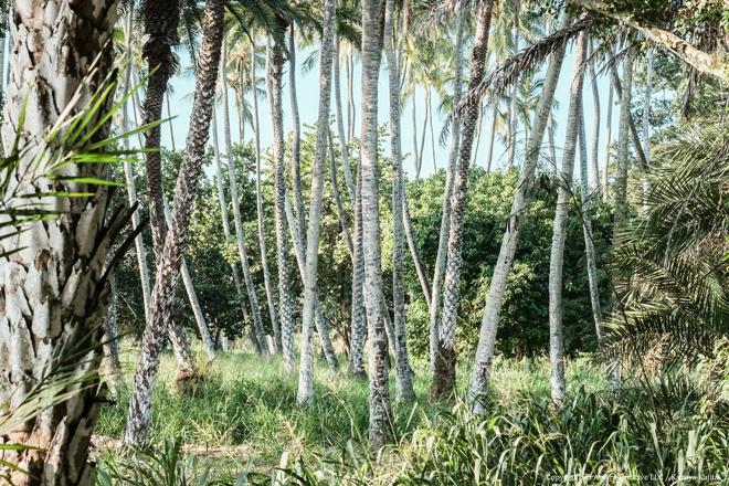 ヤシの木 #2 @ Haleiwa Beach Park