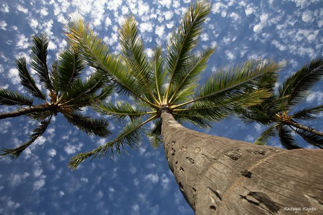椰子の木 4