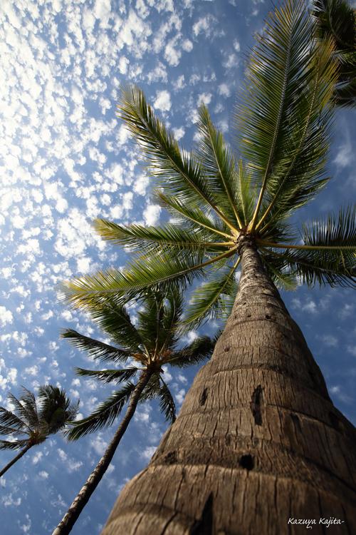 椰子の木 3